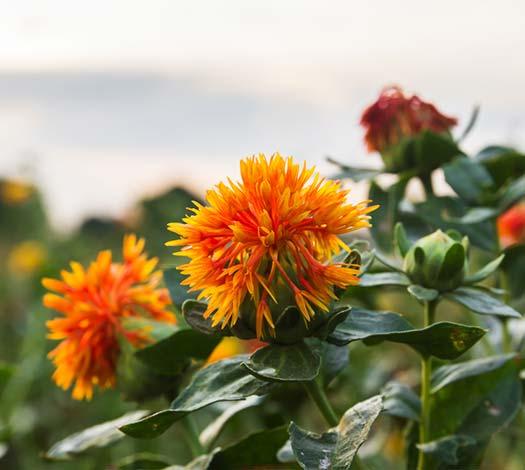 cla safflower flower plant