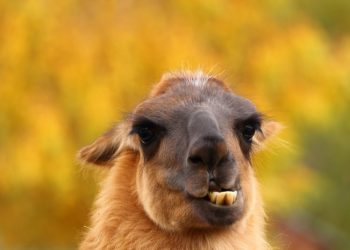 An image of a lovable llama showing its lower teeth