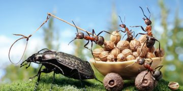 An army of ants with a beetle pulling their cart