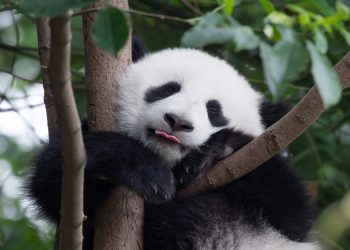 A cuddly panda sleeping on a tree with its tongue out